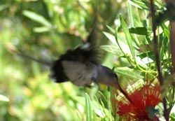 An Arizona Humming Bird
