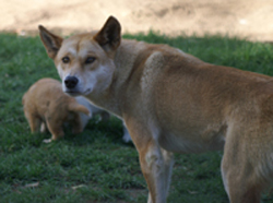 Dingo and pups
