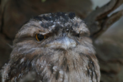 Tawn Frogmouth