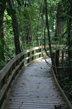 Boardwalk in Rain Forest