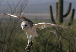 Barn owl preparing to fly