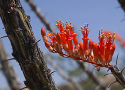 Ocotillo Bloom