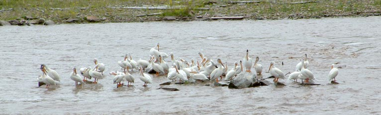 Pelicans lounging on the Missouri River