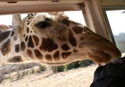 Giraffe with head in bus